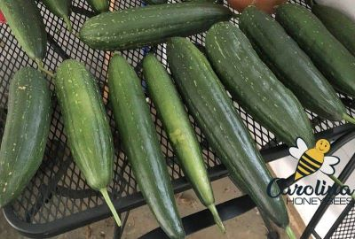 Good bee pollination results in luffa fruits