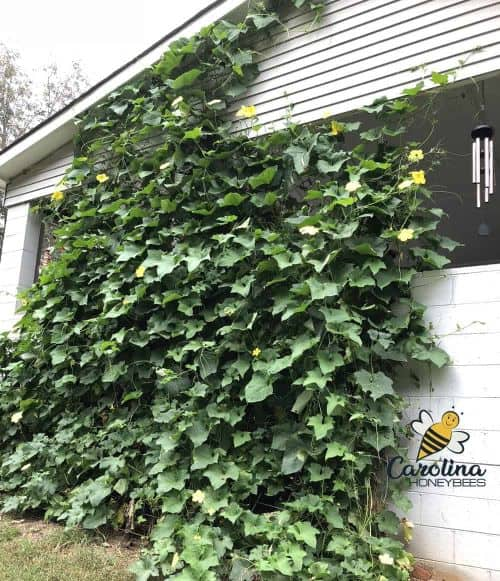 large luffa vine with flowers for bees growing up the side of a house