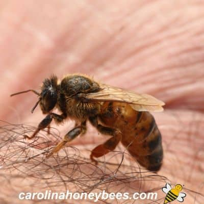 small sized queen honey bee
