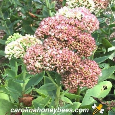 Pink bloom on autumn joy sedum fall bloomer for bees image.