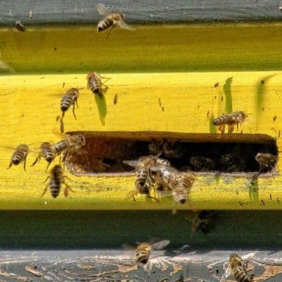 Honey bees entering hive image.
