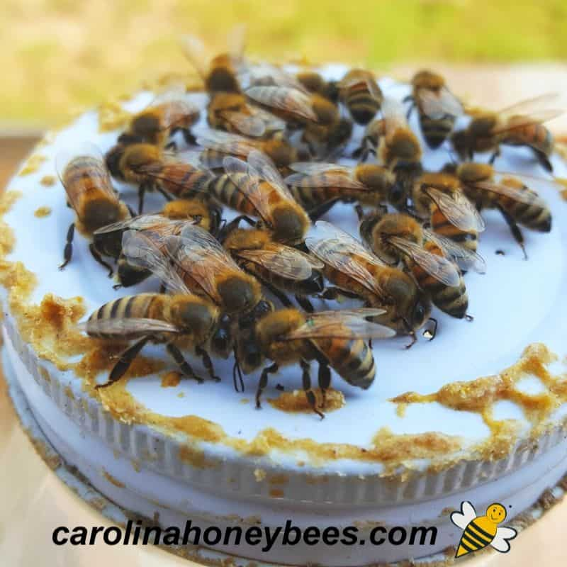 honey bees feeding on bee syrup from lid