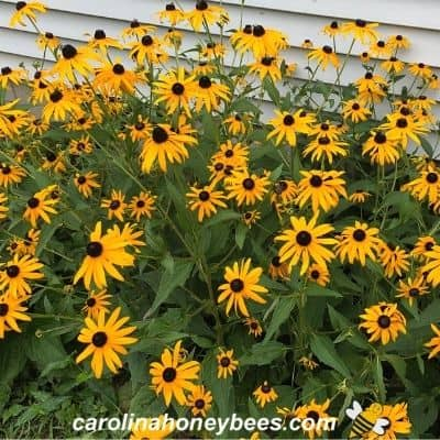 Mass of black eyed susan flowers image.