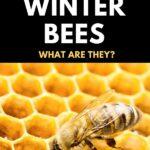 fat winter bees - honey bee on comb
