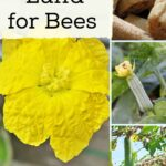 Yellow flowers and luffa fruit, growing luffa for bees.