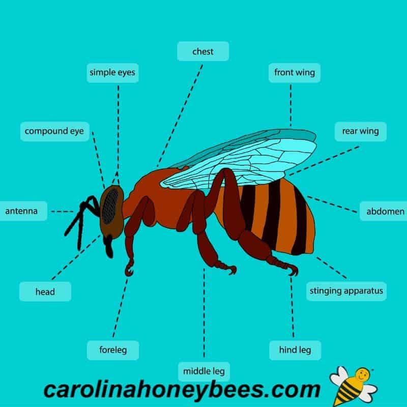 honey bee anatomy diagram
