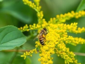 honey bee on fall goldenrod bloom