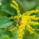 honey bee on fall goldenrod bloom