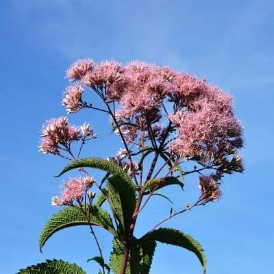 pink flower cluster on joe-pye weed feeding bees
