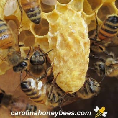 Capped queen queen cell on frame with worker bees extruding wax image.