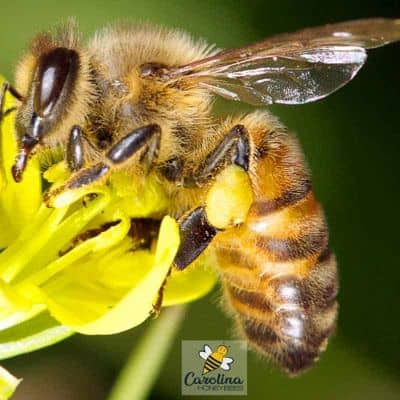 Worker bee on flower with full pollen baskets image.
