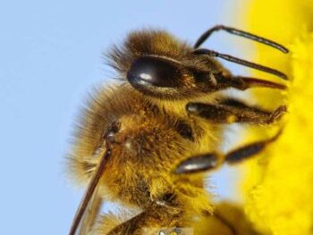 close up image of main body parts of honey bee anatomy
