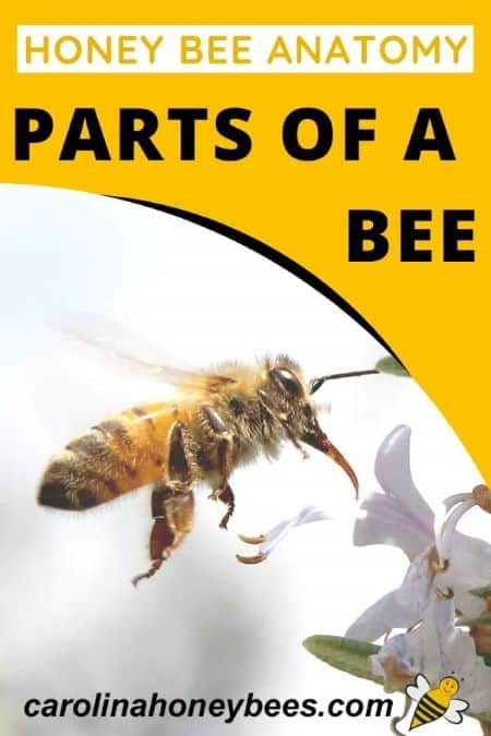 honey bee using wings to fly - honey bee anatomy - parts of a bee