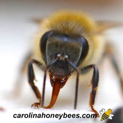 Honey bee with proboscis mouth part extended image.