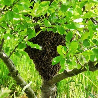 Swarm of bees led by scout bees to new home image.