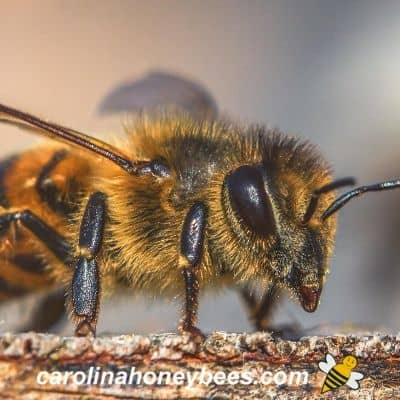 honey bee scout close up