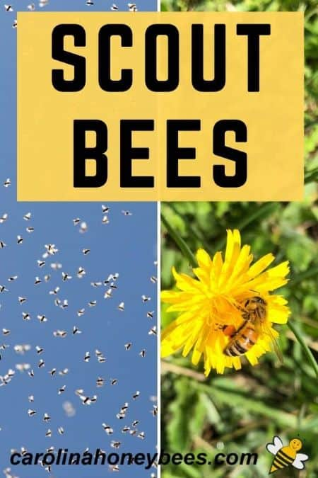 honey bees in flight - bee on yellow flower - scout bees