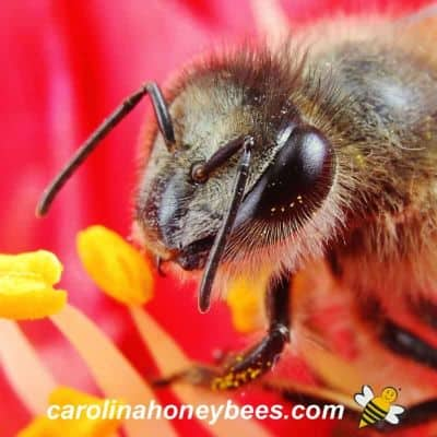 up close image of bee head with eyes and antenna