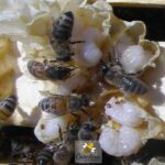 mites on bee brood show need for varroa mite treatment