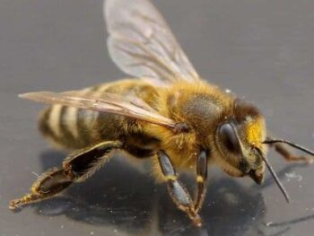 adult worker honey bee