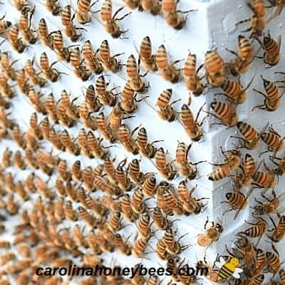 honey bees on hive front facing same direction - strange movements