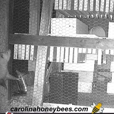 Opossum wanting to eat beekeeping equipment stored in shed image.