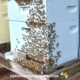 honey bee washboarding on hive front