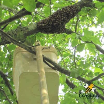 picture of a bucket mounted on a long pole to catch a bee swarm higher in a tree
