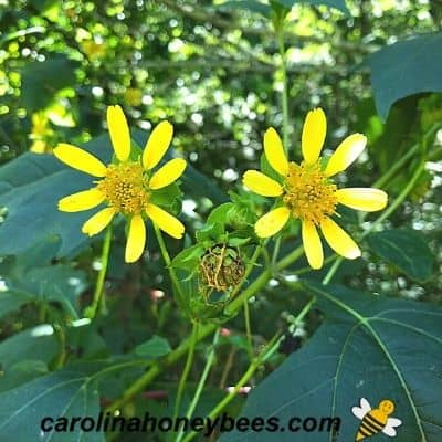 Yellow hairy leafcup plant in fall bloom image.