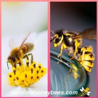 Understanding the Difference Between Bees and Wasps