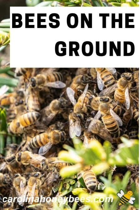 clump of honey bees - bees on the ground