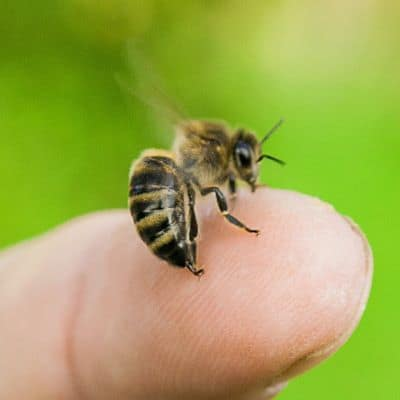picture of worker honey bee stinging a human finger