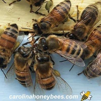 honey bees working to make honey