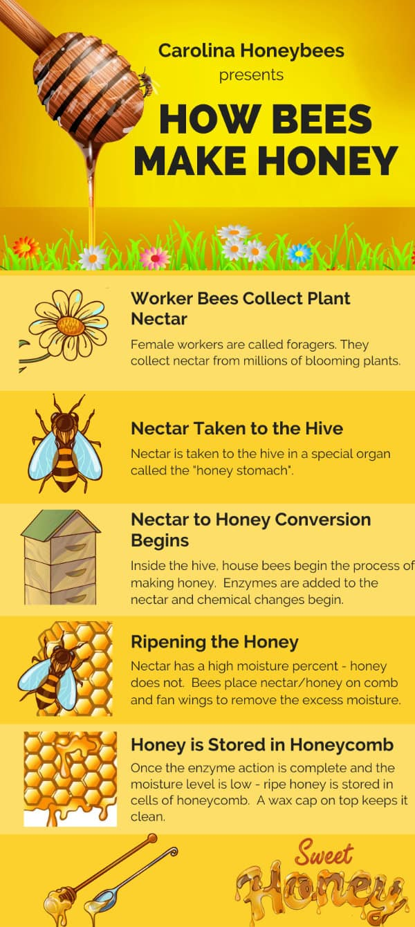Honey bees make honey diagram with all the steps infographic image