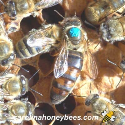 What Happens if the Queen Bee Dies?