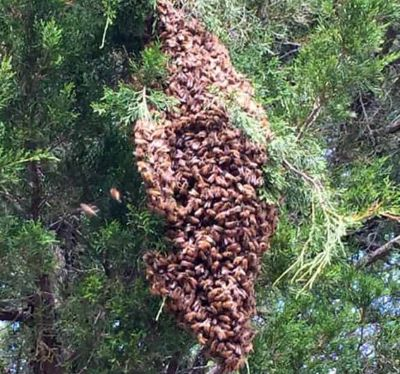 picture of a swarm of honey bees hanging in a cedar tree