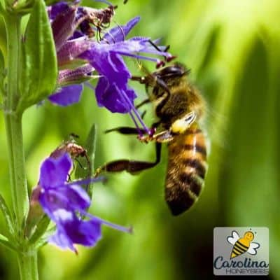 Honey bees on purple hyssop flower image.