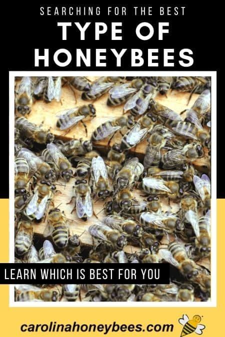 Honey bees in hive, searching for the best type of honeybees image.