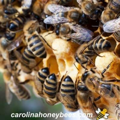 picture of carniolan honey bees