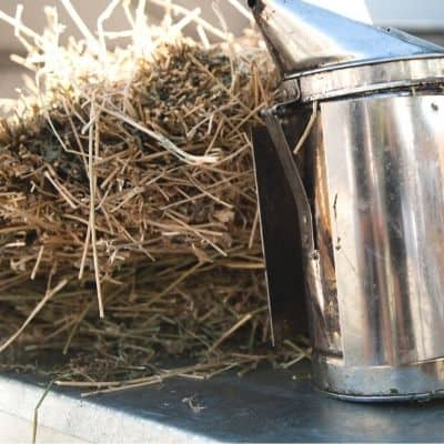 Dry pine needles as fuel for bee smoker image.