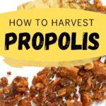 Propolis granules how to harvest propolis image.