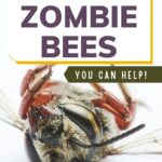 Dead honey bees killed by zombie fly image.