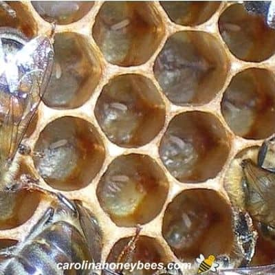 picture of honey bee eggs in honeycomb cells