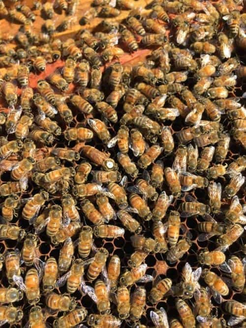 large population of honey bee in the winter hive