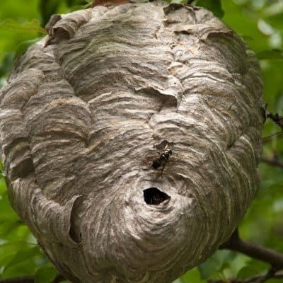 hornet nest in a tree