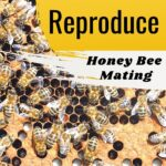 bees in hive - how bees reproduce-honey bee mating