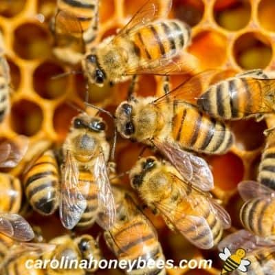 picture of italian honey bees in hive