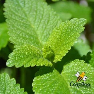 Lemon balm leaves herb plant image.