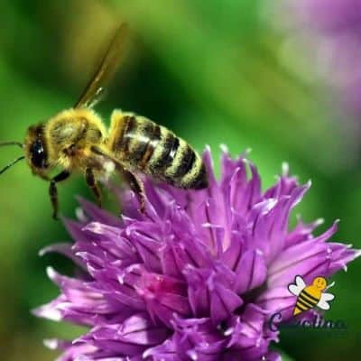 Honey bees on purple monarda flower image.