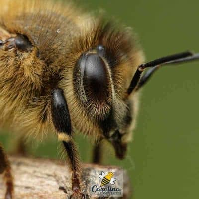 Compound eyes of a worker bee image.
